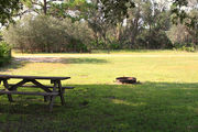Grassy campsite with a picnic table and fire ring surrounded by pine trees and saw palmettos
