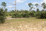 Grassy campsite with a picnic table surrounded by pine trees and saw palmettos.