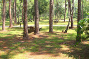 Campsite with a picnic table and fire ring, amongst the slash pines.