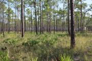 Owing its pristine state to over 30 years in a prescribed fire resource management program, the flatwoods habitats of Ochlockonee River State Park offer a great diversity of plant and animal species.