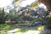 View from back of site includes large fallen oak tree and saw palmetto.