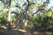 View from rear of site facing the woods that includes a large sprawling oak tree with hanging moss in the center, with saw palmetto on right and a pine tree on the left.