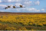 Four Sandhill cranes fly low over brilliant yellow marsh marigolds blooming in the prairie basin.  Every year, thousands of sandhill cranes migrate to spend the winter at Paynes Prairie.""