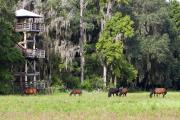 The 50-foot-high observation tower, located on the edge of a live oak hammock near the Visitor Center, gives a panoramic view of the prairie basin. Often, wildlife, like this family of wild Spanish horses, can be viewed here.""